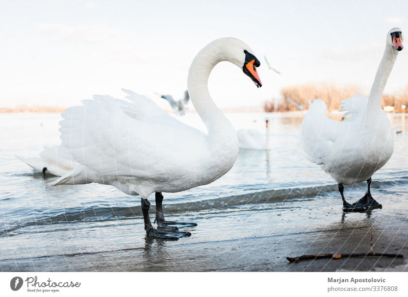 White swans on the river shore in sunset animal animals bank beach beak beautiful beauty belgrade bird birds europe evening feather feathers flock fowl freedom