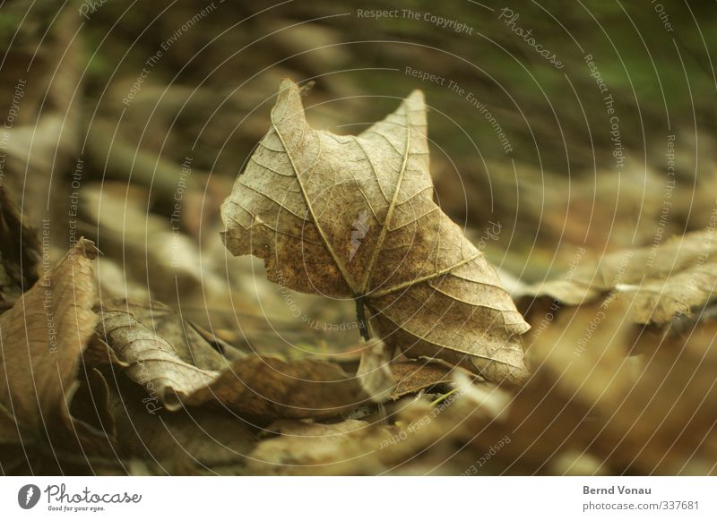 Last rebellion Nature Autumn Leaf Forest Old To dry up Dry Brown Gray Transience Autumn leaves Senior citizen Past Colour photo Exterior shot Day