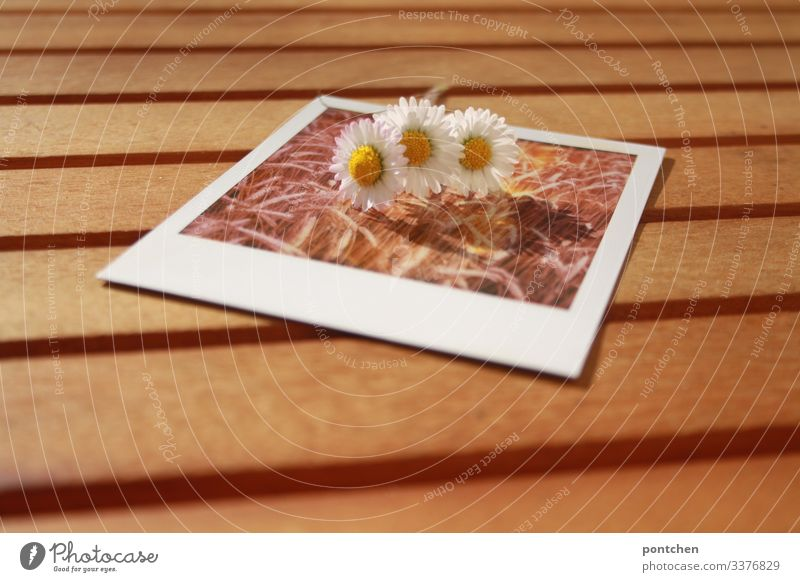 Three daisies lie on a Polaroid photo showing a grain field Daisies picture in picture Table Summer Spring Field Ear of corn Grain Picture-in-picture Day