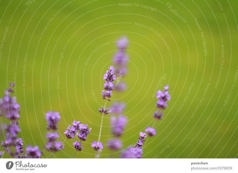 Close-up of lavender flowers against a green background (grass) Lavender blossoms Nature Environment Beauty & Beauty purple Green Grass Plant Exterior shot