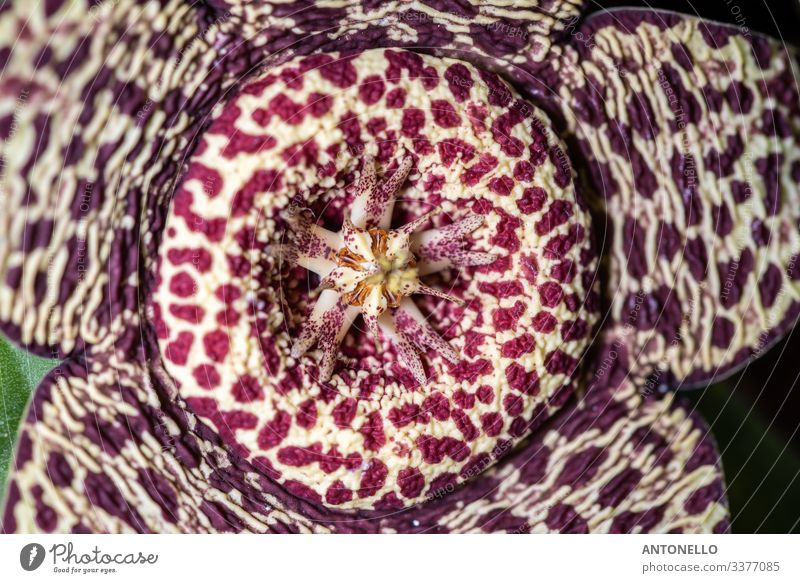 Close up of the flower of the succulence of Stapelia pulchellus Spring Plant Flower Cactus Blossom Pot plant Exotic Authentic Elegant Beautiful Natural