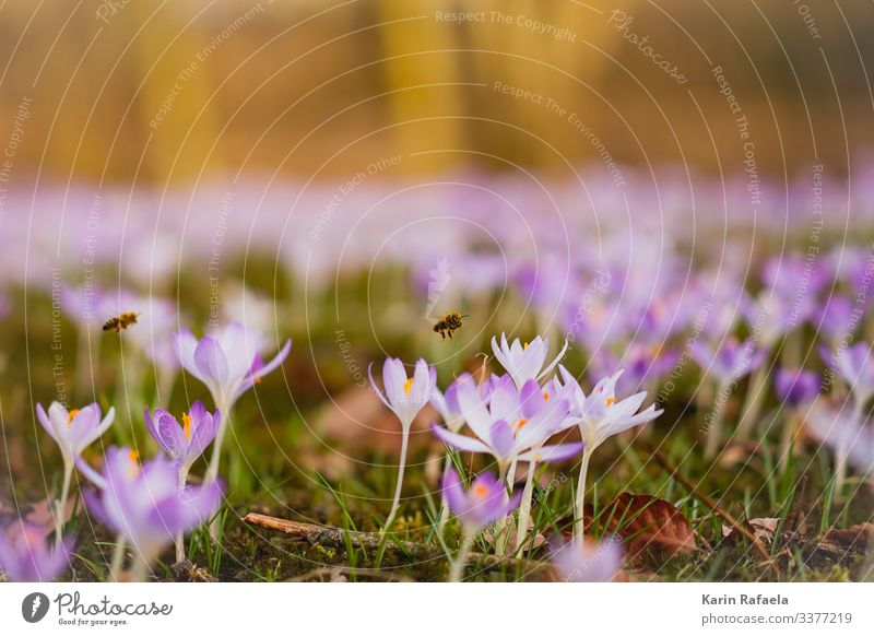 spring awakening Nature Plant Animal Spring Beautiful weather Flower Grass Blossom Crocus Meadow Wild animal Bee 2 Flying Fresh Together Sustainability Cute