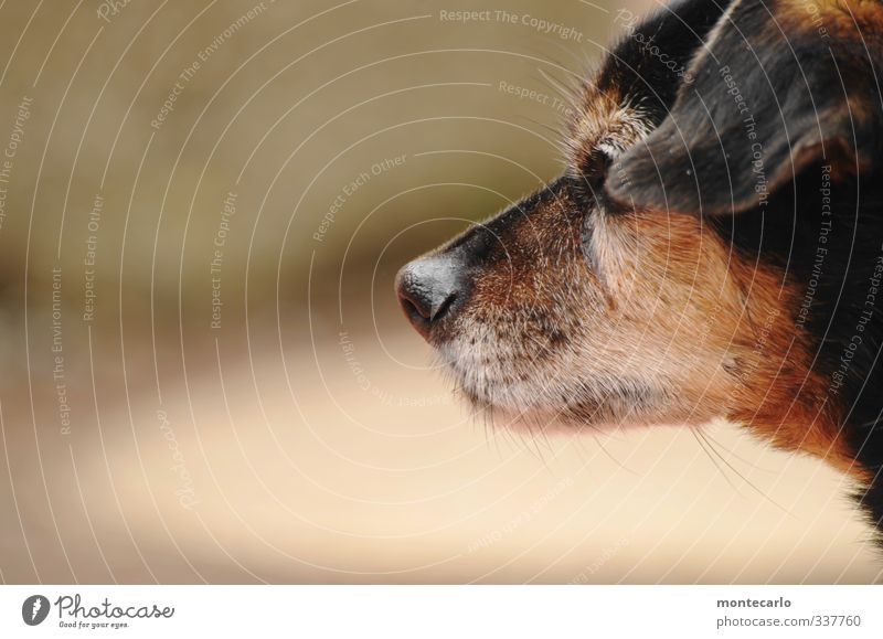 My partner with the cold snout Animal Pet Dog 1 Authentic Friendliness Small Cute Thin Brown Black Colour photo Multicoloured Exterior shot Close-up Detail