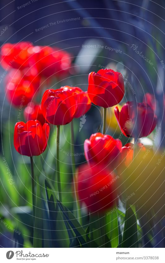 tulip flower Lifestyle Harmonious Relaxation Calm Garden Easter Spring Tulip Blossom Friendliness Fresh Natural Blue Green Red Spring fever Colour photo