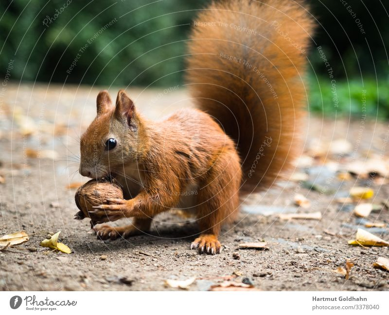 A squirrel holds a nut in his front paws. Walnut Nature Autumn Park Animal Wild animal 1 Squirrel Feed croissant Rodent Nut Tails sciurus Natural Pelt Brown Sit