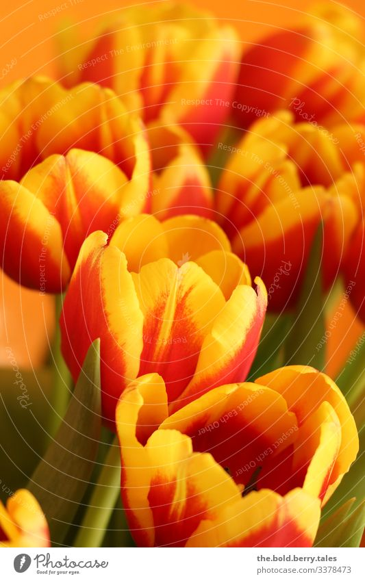 Tulips red-yellow Plant Spring Flower Blossom Friendliness Happiness Fresh Beautiful Yellow Green Red Joie de vivre (Vitality) Spring fever Optimism Life Colour