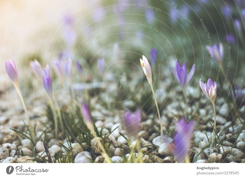 Lilanes and white crocuses grow on a gravel path and are illuminated by the sun from the upper left Garden Nature Plant Sun Spring Beautiful weather Blossom