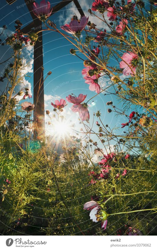 Cosmic radiation Environment Nature Landscape Plant Sky Clouds Sun Summer Beautiful weather Flower Bushes Blossom Wild plant Cosmos pergola Pole Wood Movement