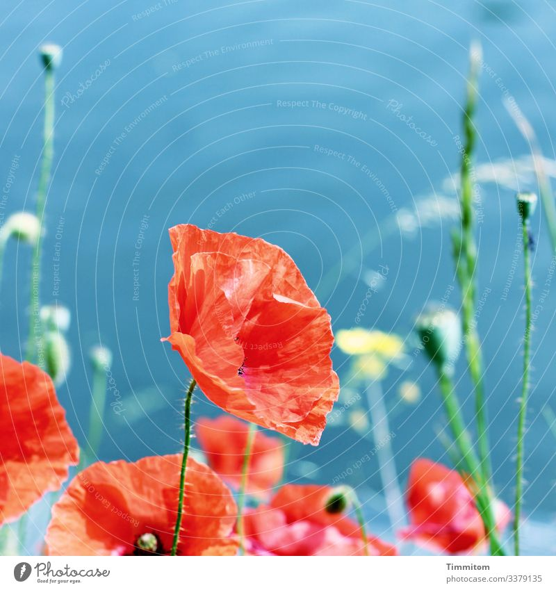 Poppy before river Environment Nature Plant Water River Neckar Blossoming Blue Green Red Emotions Poppy blossom Flashy Colour photo Exterior shot Deserted Day