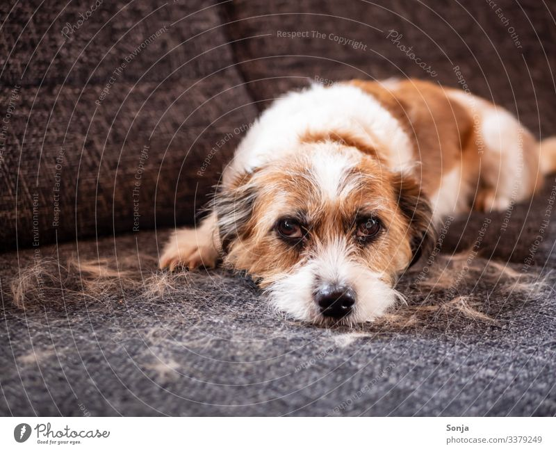 Dog amidst loose hair on a sofa Animal Pet Animal face Pelt Dog eyes 1 Sofa Lie Looking Small Cute Love of animals Orderliness Cleanliness Fatigue Disaster