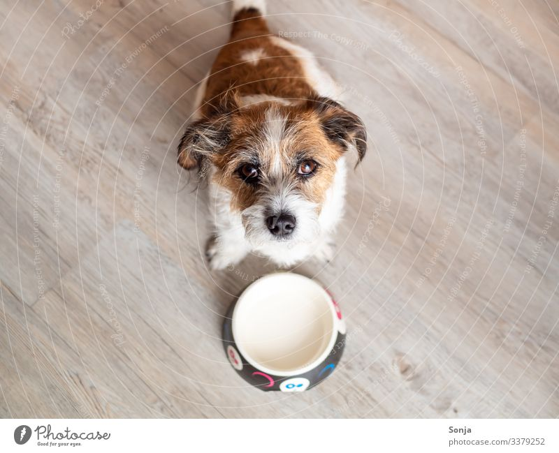 Hungry dog in front of an empty dog bowl Animal Pet Dog Animal face Pelt Dog eyes 1 Food bowl Diet To feed Anticipation Love of animals Appetite Concern Empty