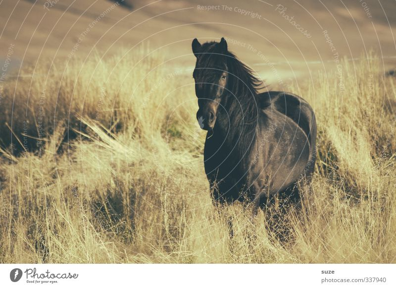 Beautiful Black Nature Landscape Animal Wind Meadow Farm animal Steppe Wild animal Horse Stand Wait Esthetic Natural Moody Mane Iceland Pony Pasture Freedom