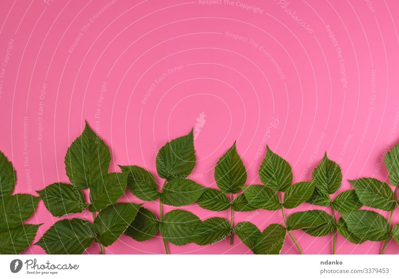 fresh green leaves of raspberry Herbs and spices Summer Decoration Nature Plant Leaf Fresh Natural Green Pink Colour background botanical Botany branch bush