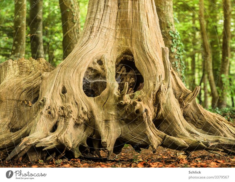 Mouse lives in old root Nature Landscape Animal Forest 1 Fantastic Small Beautiful Brown Green Black Living or residing Root of a tree Hiding place Wood Rebus