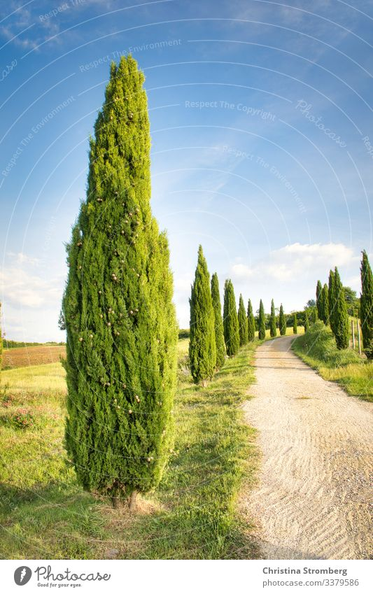 Typical Tuscany Vacation & Travel Tourism Trip Summer Summer vacation Nature Volterra Italy Italian Avenue Cypress Europe Lanes & trails Relaxation Emotions
