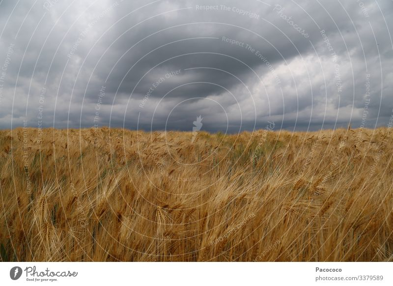 Reduced to sky and cornfield. Landscape - the horizon is in the center of the image. A storm is approaching. The brown, ripe ears of grain bob in the wind.