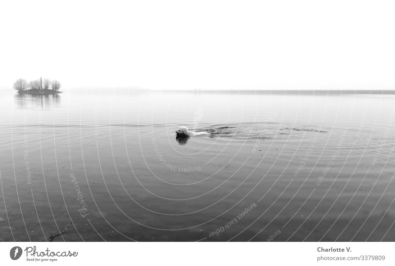 Seal | Swimming dog in the lake. Small island in the background. Bad weather. Winter Dog Lake Island tranquillity Horizon Black & white photo Swimming & Bathing