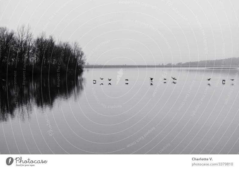 Lift off | Low-flying geese are reflected in a lake. Overcast winter weather. Environment Nature Landscape Plant Animal Elements Water Horizon Winter tree