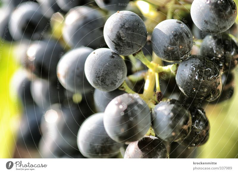 full of heavy grapes Nature Plant Autumn Agricultural crop Bunch of grapes Fresh Blue Green Wine Drops of water Wine growing Vineyard Nutrition Grape harvest