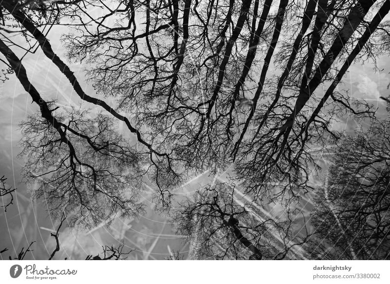 Quercus robur oaks are reflected in a body of water with blades of grass in the bog Nature Forest Winter Environment Exterior shot grasses reflection