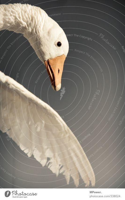 feathered Animal Wild animal Bird Swan Fly 1 To fall Flying Feather Beak Landing Duck Colour photo Interior shot Close-up Deserted Copy Space right