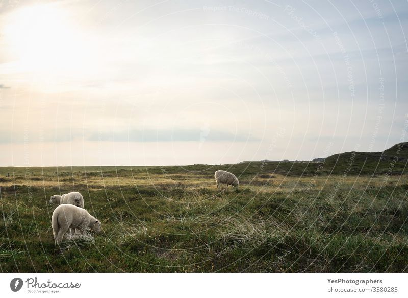 White Friesian sheep grazing on a meadow on Sylt island Summer Nature Beautiful weather Grass Moss Meadow Coast North Sea Farm animal 3 Animal To feed Stand