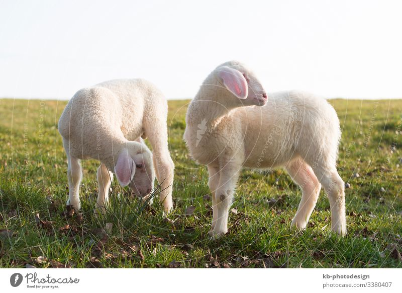 Two young lambs on a meadow Nature Animal Farm animal Lamb Sheep To feed lamps animals wool easter Easter Lamb Shave natural mammal sun sunlight springtime