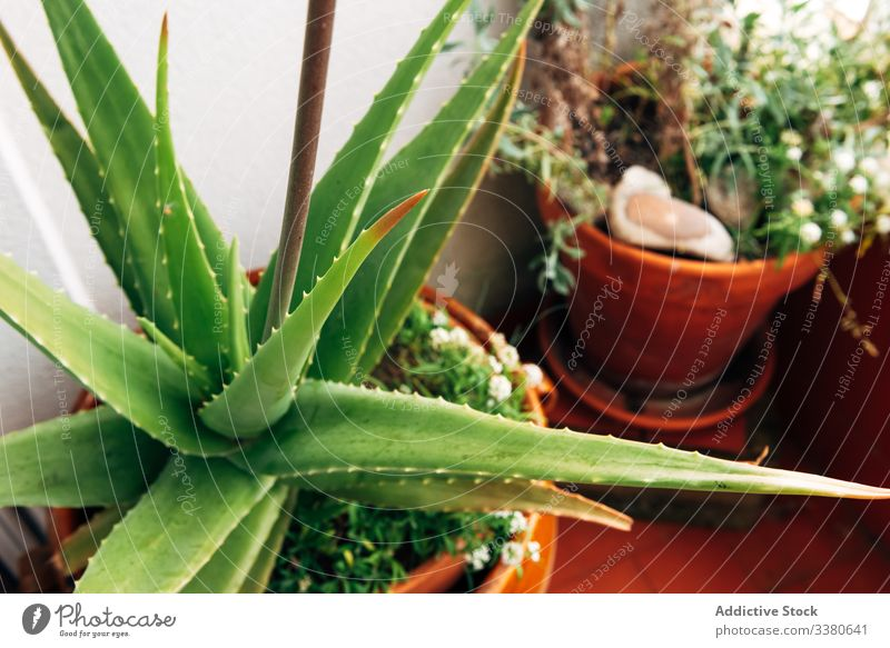 Green plants in flowerpots on balcony grow apartment succulent green growth botany flora cultivate decor garden aloe vera organic natural decoration blossom