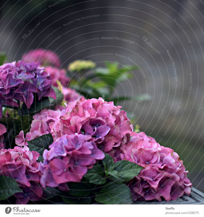 flower corner Hydrangea hydrangea Hydrangea blossom Flower Blossom blossoming flowers Ornamental plant purple pink Blossoming naturally Violet Romance