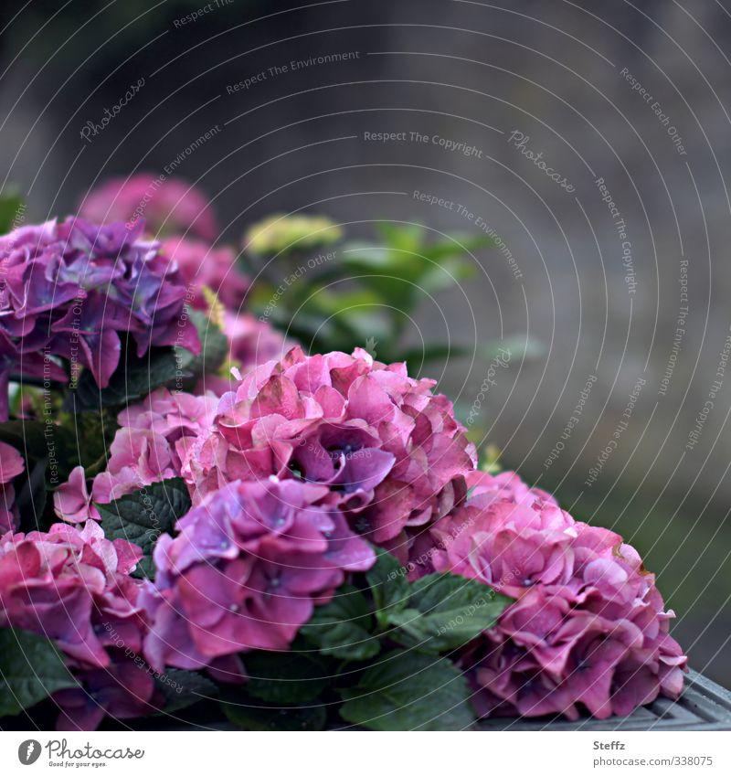 Flower corner with hydrangeas Flower Corner Hydrangea Hydrangea blossom Blossom blossoming flowers Ornamental plant purple pink Blossoming naturally Violet
