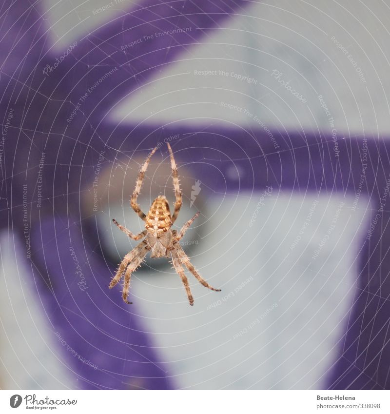 Ick gloob ick spider / you can cross me once Nature Animal Spider 1 Work and employment Aggression Threat Disgust Brown Gray Violet Emotions Fear Esthetic