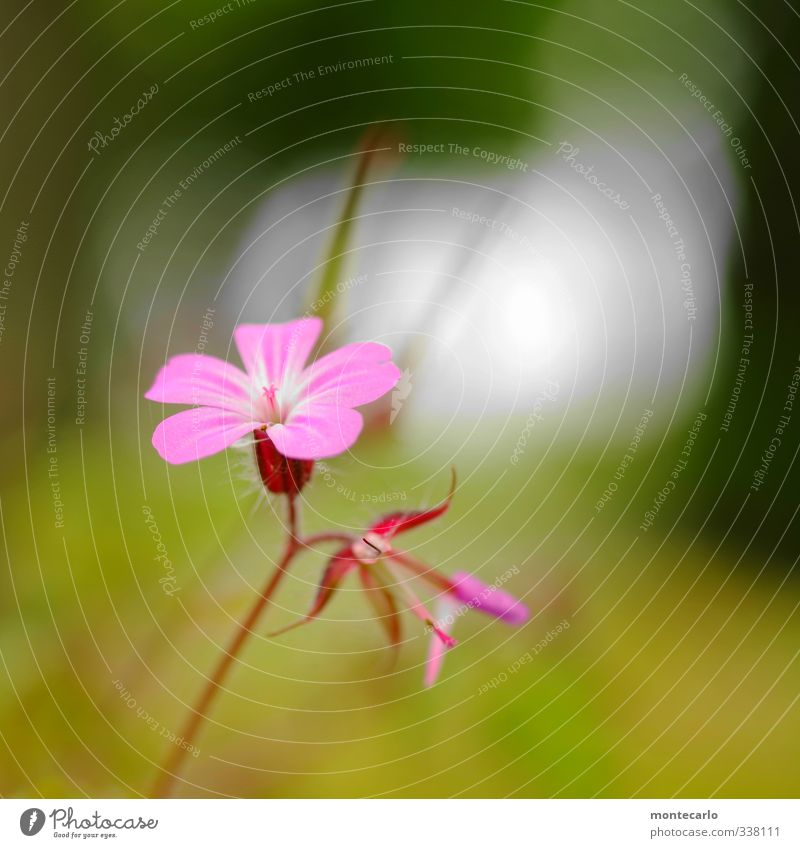 Fresh Environment Nature Plant Spring Flower Leaf Blossom Foliage plant Wild plant Thin Authentic Simple Small Soft Green Pink Colour photo Multicoloured