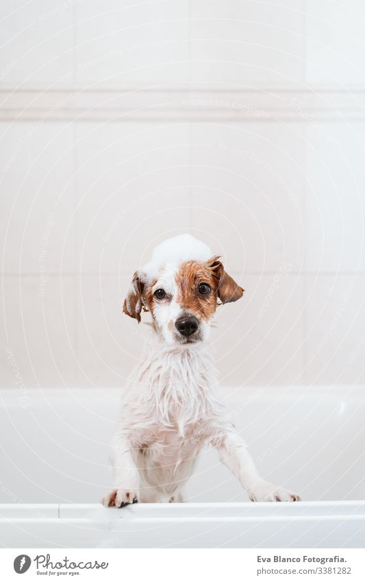 cute lovely small dog wet in bathtub, clean dog with funny foam soap on head. Pets indoors jack russell shower home brown animal bathroom background purebred