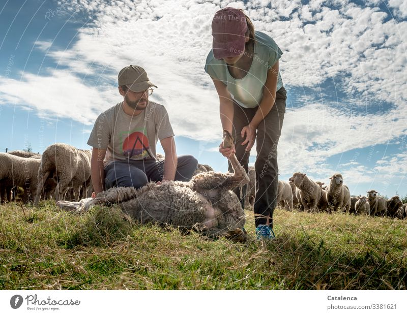 Sheep herd pedicure Nature Sky Clouds animals sheep Herd herd animals Flock Group of animals Farm animal Wool Grass Meadow Hooves persons Day daylight