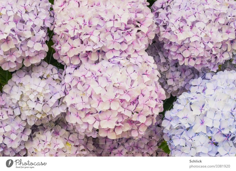 Background image flowers hydrangeas in pink and light blue Background picture Hydrangea blossom Pastel tone pastel shades light pink blossoms full-frame image