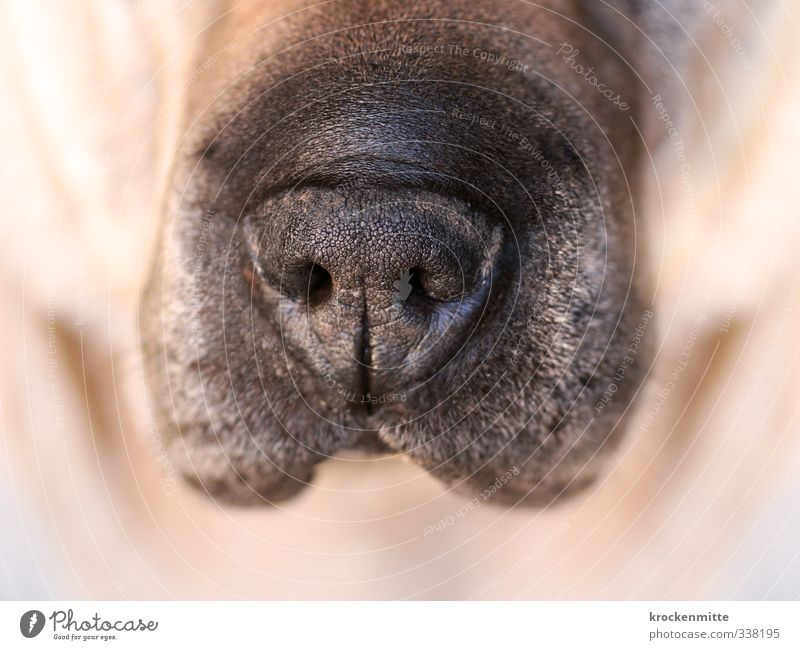 snout Animal Pet Dog Animal face 1 Brown Black Acceptance Snout Nostril Hair and hairstyles Pelt Wet Love of animals Damp Perspire Wrinkles Obedient Breathe