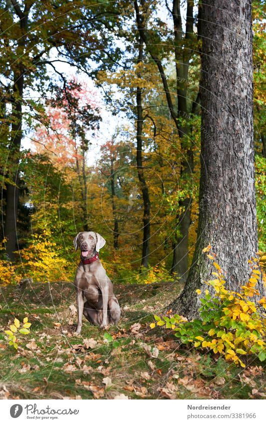 Weimaraner hunting dog in the colourful autumn forest Hunting Dog Hound dog breeding Animal Autumn Park youthful pointer dog therapy dog Forest clearing