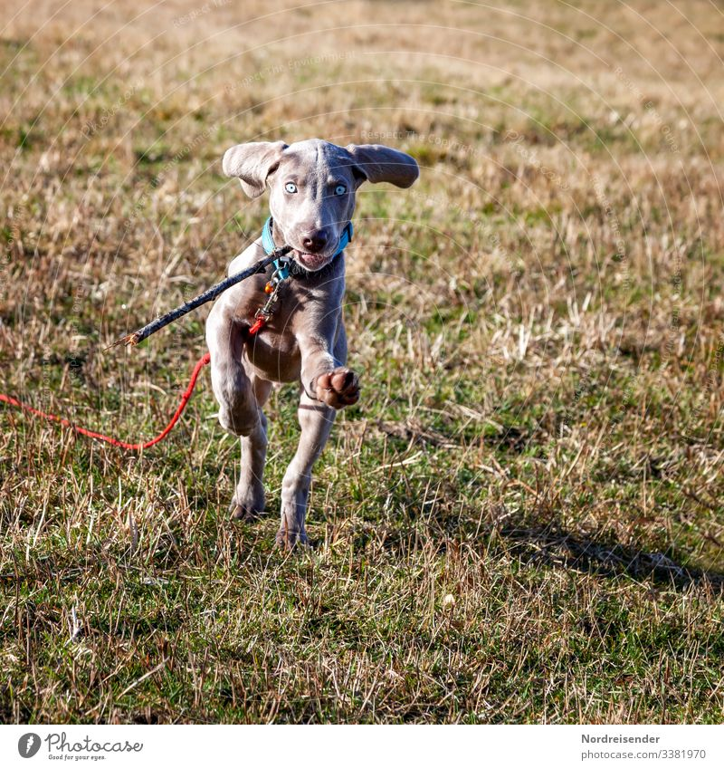 Hunting dog Ben Leisure and hobbies Playing Nature Earth Beautiful weather Grass Meadow Animal Pet Dog Fitness Walking Running Jump Happiness Small Curiosity
