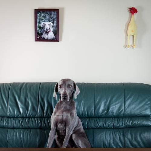Weimaraner hunting dog in a whimsical pose on a couch Front view Animal portrait Contrast Copy Space top Hound Armchair Curiosity Whimsical Pride