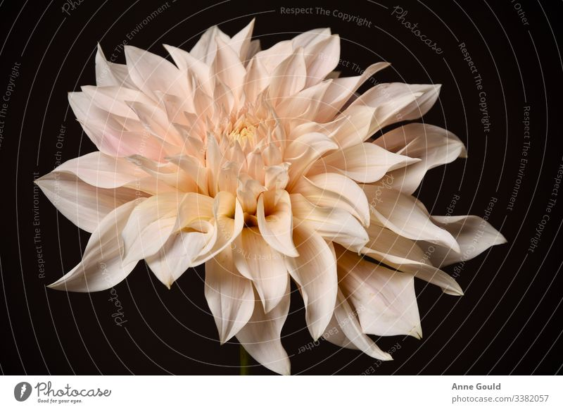 Studio image of peach coloured dahlia bloom Dahlia Bloom Flower Summer Nature Plant Pink Peach beautiful