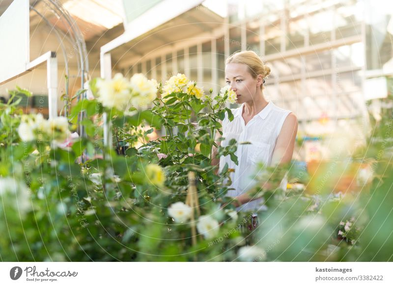 Beautiful female customer holding and smelling blooming yellow potted roses in greenhouse. flower buy shop business garden happy gardener horticulture store