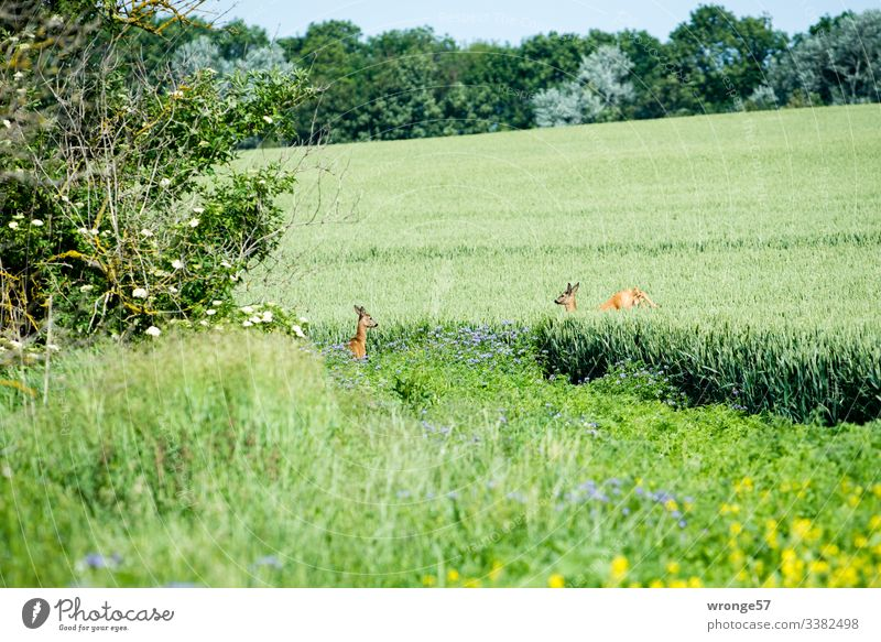 2 roe deer in the field Nature Field Cornfield Summer Landscape Exterior shot Day Deserted Grain field Colour photo Deer Green Stand Jump Flee Environment