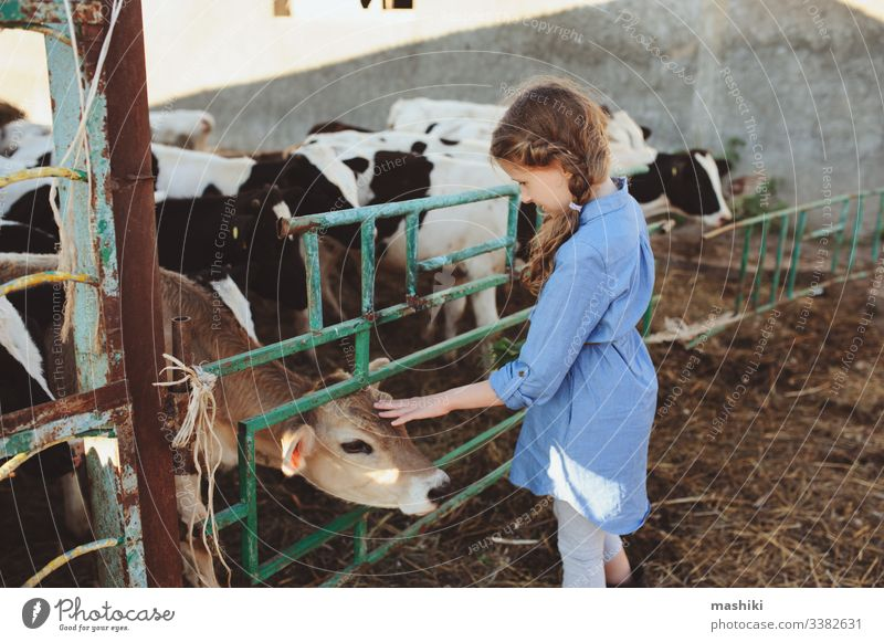 kid girl feeding calf on cow farm. Countryside, rural living, agriculture concept child nature cattle outdoor countryside summer farming pasture dairy livestock