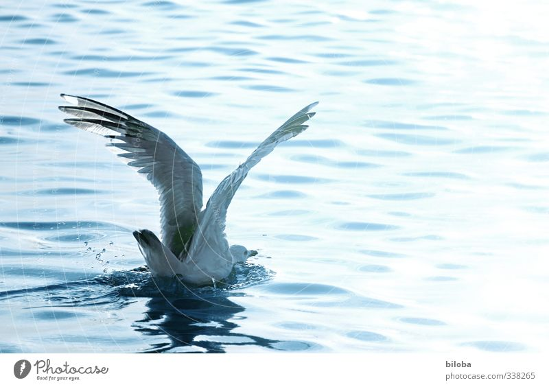 belly landing Waves North Sea Bird Seagull Water Drop Flying Landing Copy Space right Motion blur