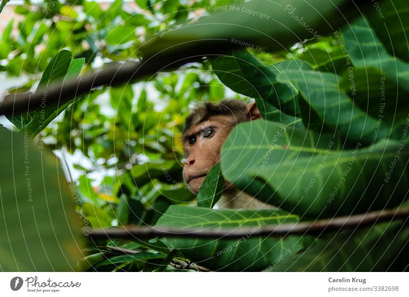 Observing monkey with fixed gaze Hiding place Hide observation Observe eyes Green Shower Jungle Curiosity Mysterious India Surprise branches Nature Looking