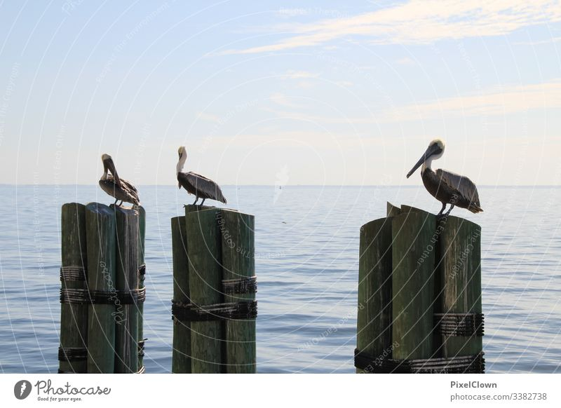Pelicans at the pier Animal Beak Ocean Wild animal Bird Harbour Sea bird Animal portrait ocean vacation Exterior shot Florida