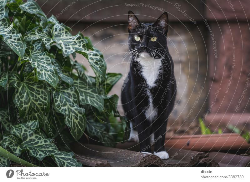Most beautiful Tuxedo cat in the world, standing on old roof tiles in the garden Cat Garden Pelt Plant Nature Exterior shot Exceptional Beautiful cat face