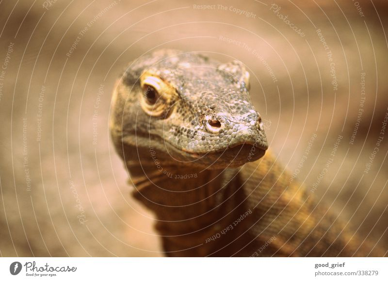 primeval animal Environment Landscape Plant Animal Elements Wild animal Zoo Naked Iguana Scales Reptiles Eyes Nose Ear Skin Brown Leather Colour photo