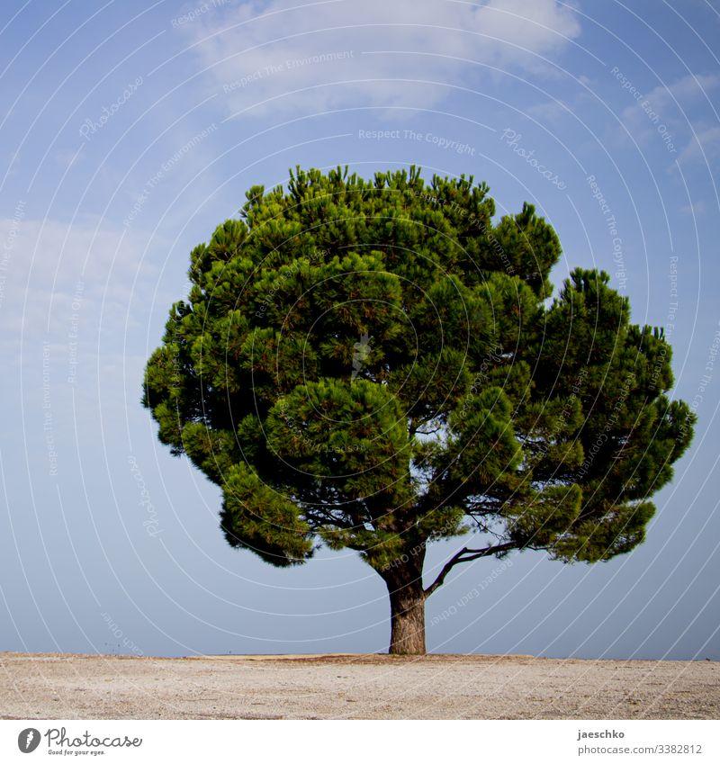 A tree on Crete Tree Calabrian pine Coniferous trees Jawbone Treetop Individual on one's own Mediterranean Mediterranean sea Green needles Splendid Large