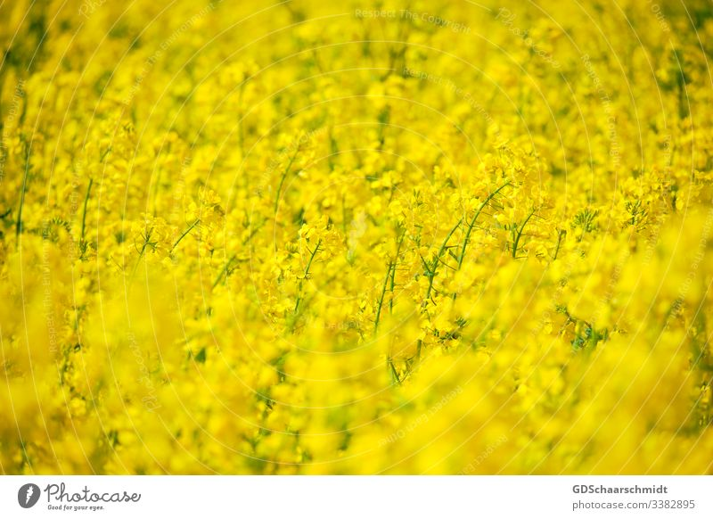 Rape flowers Canola Cooking oil Oilseed rape flower Blossom Farmer Agriculture Canola field Yellow Spring Summer May Nature Colour photo Field Harvest